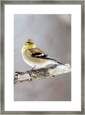American Goldfinch Winter Plumage Framed Print by Bill Wakeley