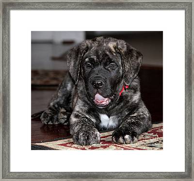 American Mastiff Puppy Framed Print by Luv Photography
