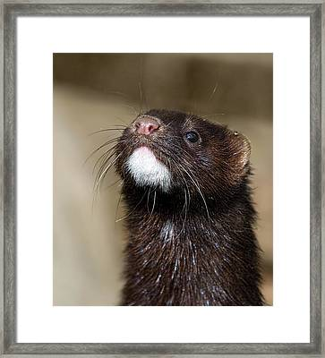 American Mink In The Uk Framed Print by Mr Bennett Kent