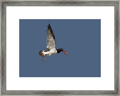 American Oystercatcher In Flight Framed Print by Susan Candelario
