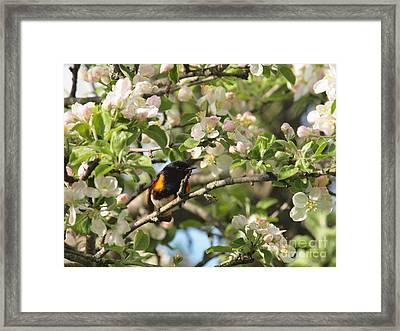 American Redstart Framed Print by Frank Piercy
