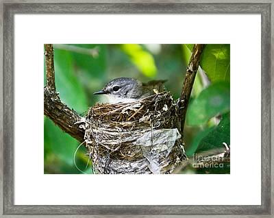 American Redstart Nest Framed Print by Cheryl Baxter