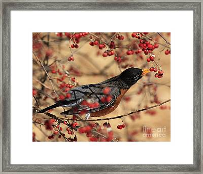 American Robin Eating Winter Berries Framed Print by Inspired Nature Photography Fine Art Photography