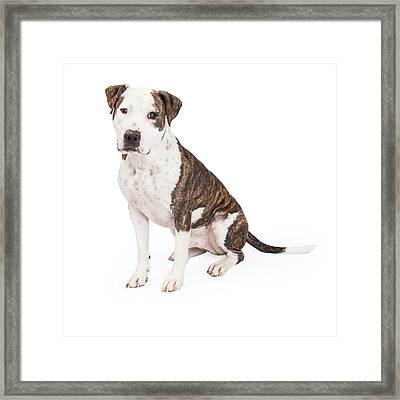 American Staffordshire Terrier Cross Dog Sitting Framed Print by Susan  Schmitz