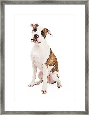 American Staffordshire Terrier Dog Sitting Framed Print by Susan  Schmitz