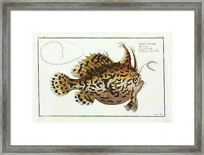 American Toad-fish Framed Print by Natural History Museum, London