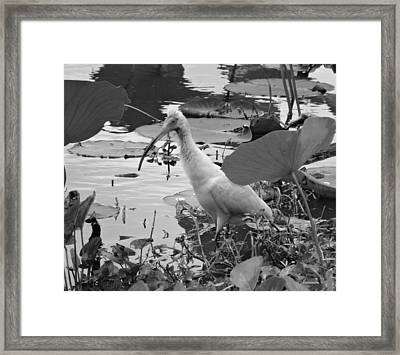 American White Ibis Black And White Framed Print by Dan Sproul
