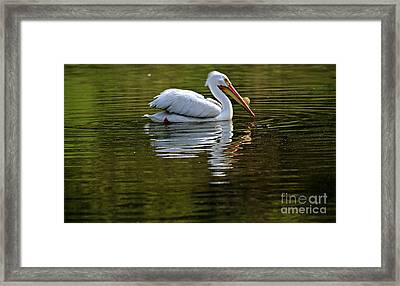 American White Pelican Framed Print by Elizabeth Winter