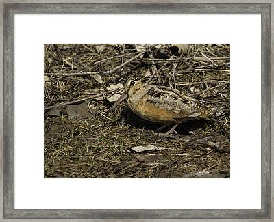 American Woodcock 1 Framed Print by Thomas Young