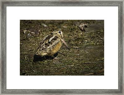 American Woodcock 2 Framed Print by Thomas Young