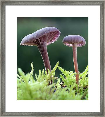 Amethyst Deceiver Framed Print by Nigel Downer