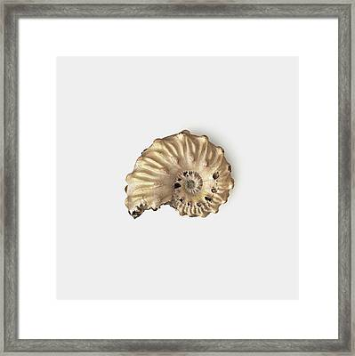 Ammonite Shell Fossilised In Clay Framed Print by Dorling Kindersley/uig
