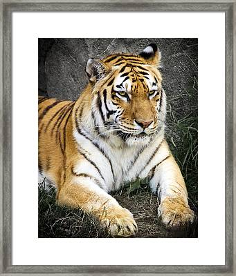 Amur Tiger Framed Print by Adam Romanowicz