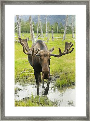 An Elk Standing In A Puddle Of Water Framed Print by Doug Lindstrand