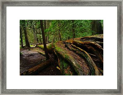 An Old Growth Tree  Framed Print by Jeff Swan
