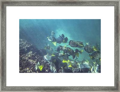 An Underwater Look At A School Of Yellow Fin Fish Framed Print by Sven Brogren