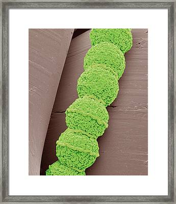Anabaena Algae Framed Print by Steve Gschmeissner