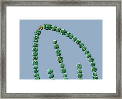 Anabena Cyanobacterium Framed Print by Gerd Guenther