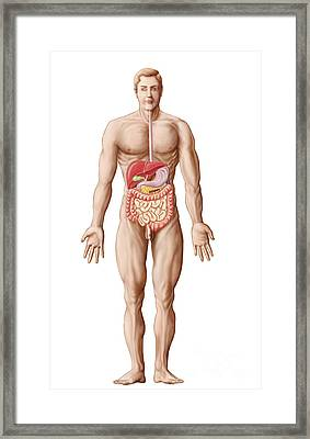 Anatomy Of Human Digestive System, Male Framed Print by Stocktrek Images