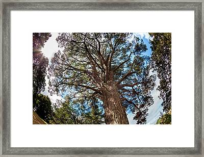 Ancient Pine Above Auckland, New Zealand Framed Print by James White