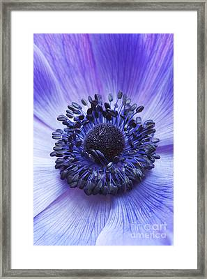 Anemone Coronaria Framed Print by Tim Gainey