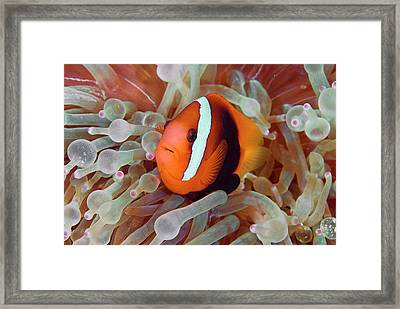 Anemonefish Among Poisonous Tentacles Framed Print by Jaynes Gallery