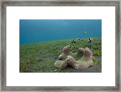 Anemonefish In Seagrass In Indonesia Framed Print by Science Photo Library