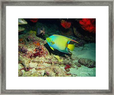 Angel Fish Framed Print by Carey Chen