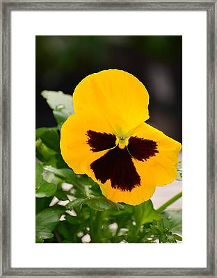 Angel Winged Pansy Framed Print by Maria Urso