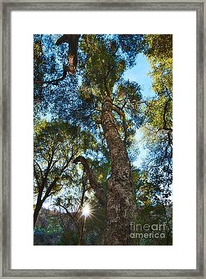 Angeles Sun -beautiful Tree With Sunburst In Angeles National Forest In The San Gabriel Mountails Framed Print by Jamie Pham