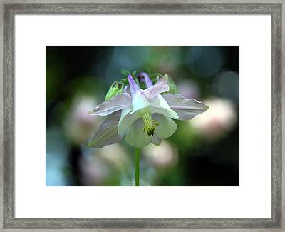 Angelic Aquilegia Framed Print by  Andrea Lazar