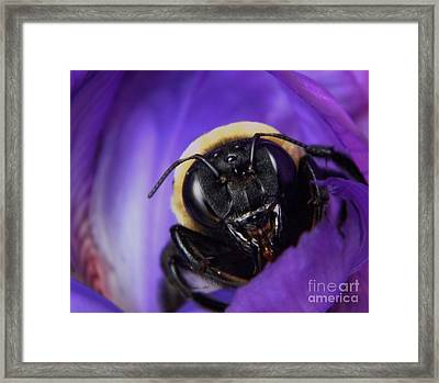 Angry Bumble Bee Framed Print by Chris Berry
