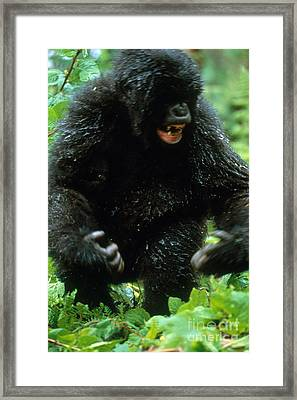 Angry Mountain Gorilla Framed Print by Art Wolfe
