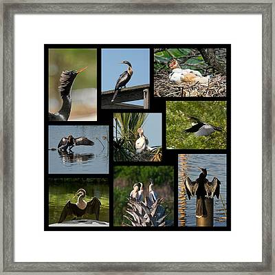 Anhinga Collage Framed Print by Dawn Currie