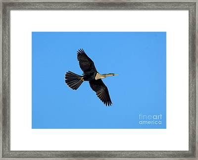 Anhinga Female Flying Framed Print by Anthony Mercieca