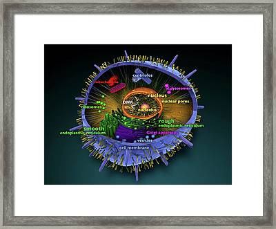 Animal Cell Framed Print by Sci-comm Studios