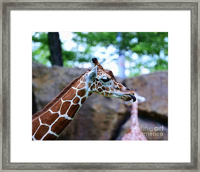 Animal - Giraffe - Sticking Out The Tounge Framed Print by Paul Ward