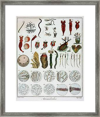 Animalcules Framed Print by Universal History Archive/uig