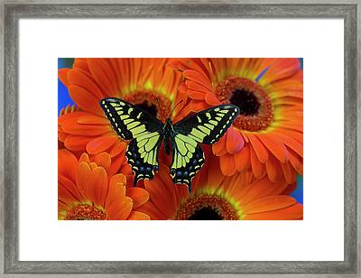 Anise Swallowtail Butterfly, Papilio Framed Print by Darrell Gulin