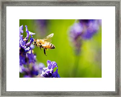 Another Bee And The Lavender Framed Print by Vicki Jauron
