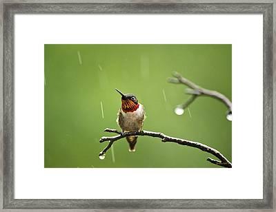 Another Rainy Day Hummingbird Framed Print by Christina Rollo