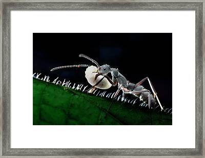 Ant Carrying Larva Framed Print by Melvyn Yeo
