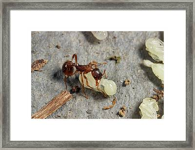 Ant Lifting Pupa Framed Print by Sinclair Stammers