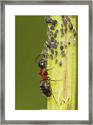 Ant Tending Aphids Framed Print by Mircea Costina Photography
