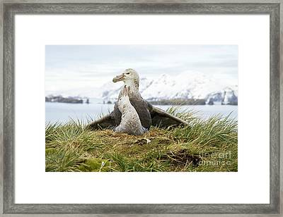 Antarctic Giant Petrels Mating South Framed Print by
