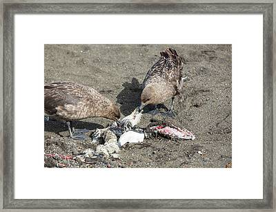 Antarctic Skuas Feeding Framed Print by Ashley Cooper