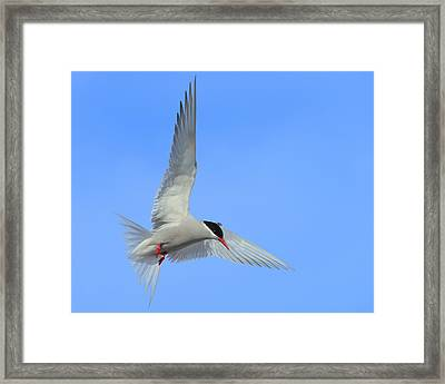 Antarctic Tern Framed Print by Tony Beck