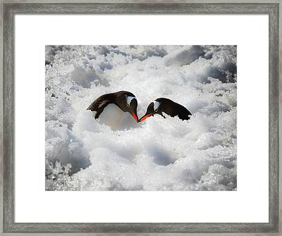 Antarctica A Pair Of Gentoo Penguins Framed Print by Janet Muir
