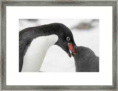 Antarctica, Brown Bluff Framed Print by Jaynes Gallery