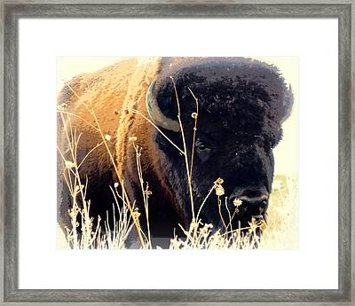 Antelope Island Buffalo Framed Print by Heidi Manly